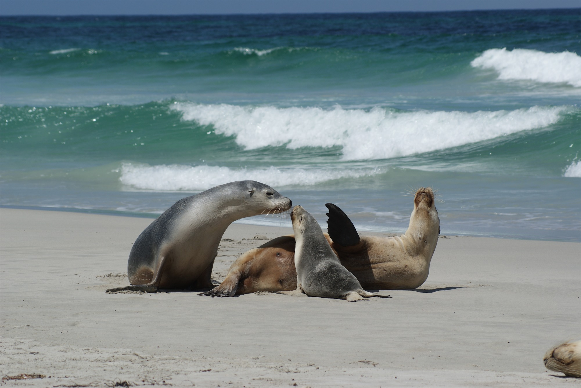 Kangaroo Island Sea Lions And Fur Seals The Driver The Nav Amp The Dog