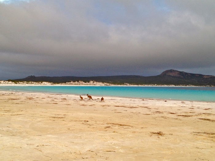 Kangaroos gather on the beach as the storm comes in from the east